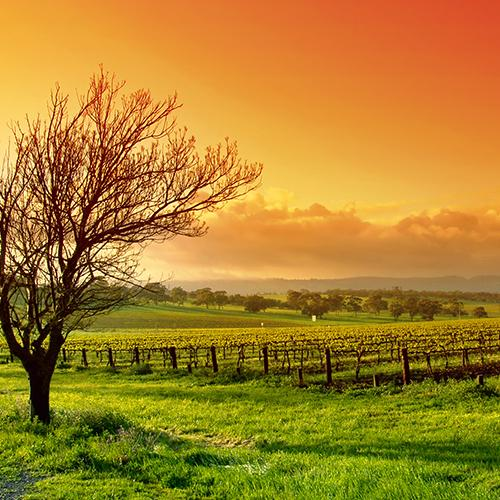 Australian vineyard with beautiful grapevines
