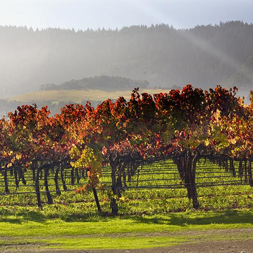 California vineyard with beautiful grapevines